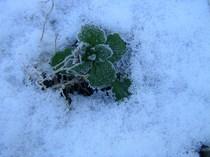 雪と植物.JPG