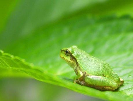 japanese_tree_frog1[1].jpg